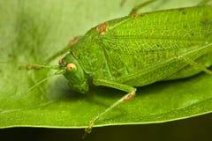 зеленый саранчук Стоковые Изображения RF