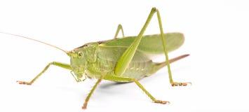зеленый саранчук Стоковые Фотографии RF