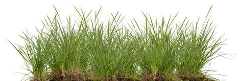 Зеленый свежий изолированный луг травы Стоковая Фотография RF