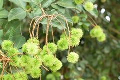 Зеленый свежий рамбутан на помадке плода сезона дерева тропической в Таиланде стоковое изображение