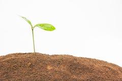 Зеленый свежий росток Стоковые Изображения RF