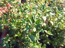 Зеленый свежий тимиан выходит естественная предпосылка стоковое изображение rf
