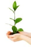 зеленый сец руки Стоковое Фото