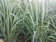 Зеленый сочный зеленый цвет veed на снаружи в снаружи парков, фермы и домашних Стоковое Изображение