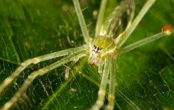 Зеленый спайдер Стоковое фото RF