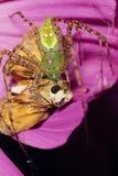 Зеленый спайдер Lynx с Prey бабочки шкипера Стоковая Фотография RF