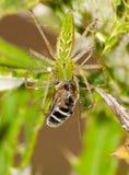 Зеленый спайдер Lynx Стоковая Фотография