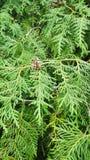 Зеленый спрус с молодыми конусами Стоковое фото RF