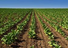 Зеленый табак Стоковая Фотография