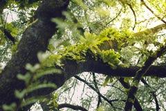 Зеленый тамаринд лист во время сезона дождей Стоковое Изображение RF