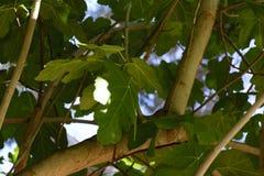 Зеленый фиговый листок Стоковое фото RF