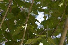Зеленый фиговый листок Стоковые Изображения RF