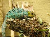 Зеленый хамелеон в дереве Стоковое фото RF