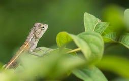 Зеленый хамелеон младенца Стоковое Фото
