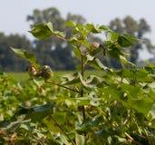 Зеленый хлопок Стоковые Фото