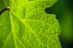 Зеленый хлорофилл где лист выполняют фотосинтез стоковое фото