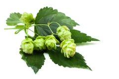 Зеленый хмель с листьями на белой предпосылке стоковая фотография