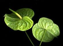 зеленый цвет антуриума стоковая фотография