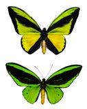 зеленый цвет бабочек Стоковые Изображения RF