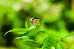 зеленый цвет бабочки предпосылки Стоковое Изображение