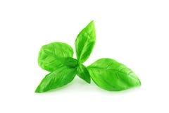 зеленый цвет базилика Стоковая Фотография