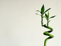 зеленый цвет бамбука Стоковое Изображение