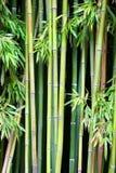 зеленый цвет бамбука Стоковое фото RF