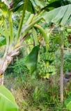 зеленый цвет банана большой яркий близкий выходит вал вверх Стоковое Изображение RF