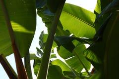 зеленый цвет банана большой яркий близкий выходит вал вверх Стоковые Фото