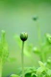 зеленый цвет бутона Стоковое Изображение