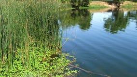 Зеленый цвет быстрого движения reeds на крае отражений пруда видеоматериал