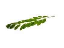 зеленый цвет ветви акации Стоковое фото RF