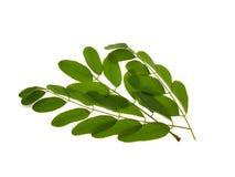 зеленый цвет ветви акации стоковое фото