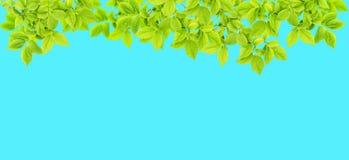 Зеленый цвет ветви дерева весны выходит голубое знамя природы предпосылки Стоковая Фотография RF