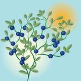 зеленый цвет ветви ягод Стоковое Изображение