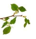 зеленый цвет ветви Стоковое фото RF