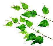 зеленый цвет ветви Стоковые Изображения RF
