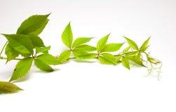 зеленый цвет виноградины ветви одичалый Стоковые Изображения RF
