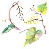Зеленый цвет виноградины выходит в стиль акварели изолированный r Изолированный элемент иллюстрации плода бесплатная иллюстрация