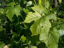 зеленый цвет виноградины выходит специфический сезона Стоковое фото RF