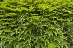 зеленый цвет виноградины выходит текстура Стоковая Фотография