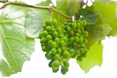 зеленый цвет виноградины зрея Стоковые Фотографии RF