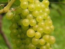 зеленый цвет виноградины Стоковая Фотография