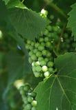 зеленый цвет виноградины Стоковое Изображение