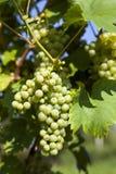 зеленый цвет виноградин пука Стоковое фото RF