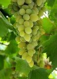зеленый цвет виноградин стоковые изображения rf