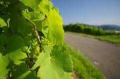 Зеленый цвет виноградника Стоковые Изображения RF