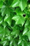зеленый цвет виноградного вина Стоковое Фото