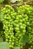 зеленый цвет виноградного вина Стоковые Фотографии RF