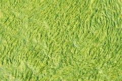 зеленый цвет водорослей Стоковая Фотография